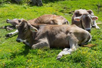 Trois vaches au soleil