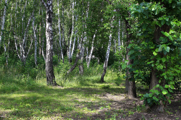 Summer landscape. Birch grove