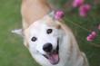 笑顔で見つめる犬とピンクの花