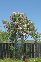 rosier grimpant rose