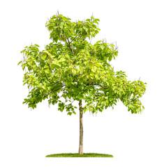 freigestellter Trompetenbaum mit Früchten vor weißem Hintergrund