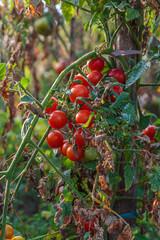 natural organic tomato culture