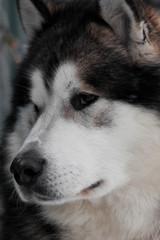 Alaskan Malamute portrait closeup © furtseff