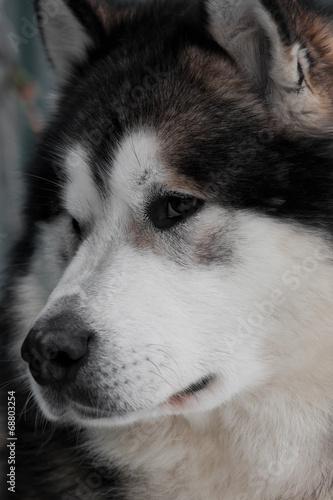 Alaskan Malamute portrait closeup