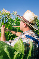 Farmer looks tobacco in the field