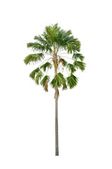 Palm tree on a white background