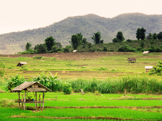 Thai rice field
