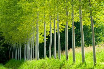 pioppi alberi fogliame 8254