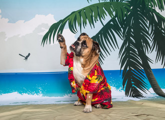 Bulldog waving high 5 on the beach