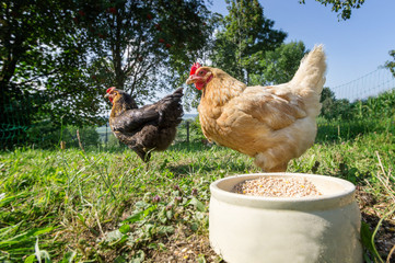 Zwei freilaufende Hühner