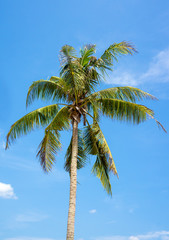 A coconut tree against blue sky