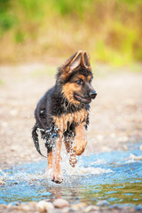 German shepherd puppy running in water