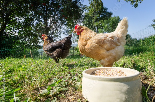 Aluminium Kip Zwei freilaufende Hühner