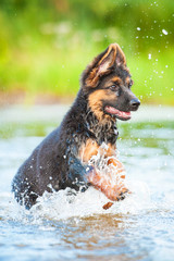 German shepherd puppy running in water