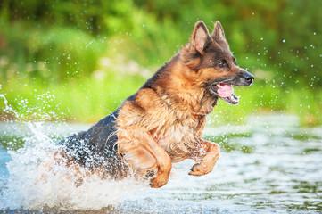 German shepherd dog jumping in water