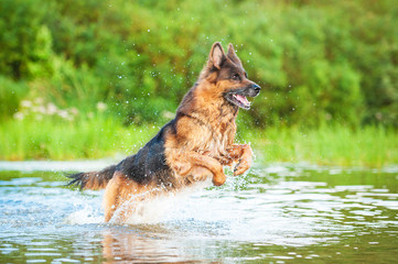 German shepherd dog jumping in water