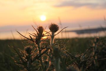 Sonnenuntergang mit Disteln