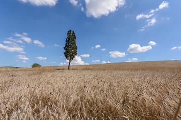 Baum im Kornfeld
