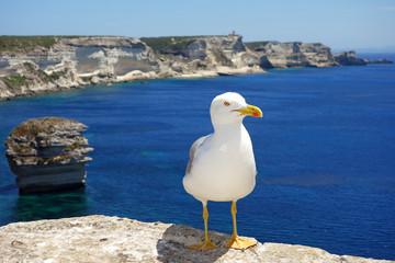 Goéland sur les falaises de Bonifacio en Corse