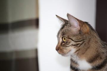 Kopf Tiger-Katze