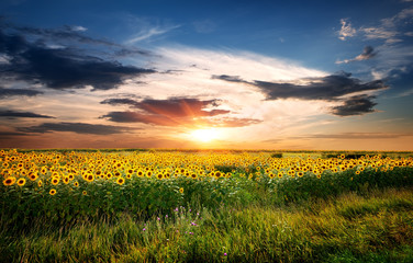 Field of sunflowers © Givaga