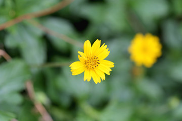 Yellow flowers on a backdrop of green foliage.