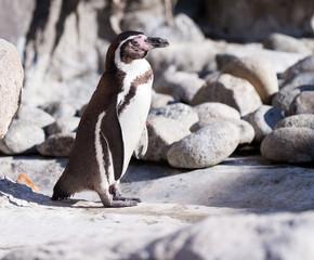 penguin standing on stones