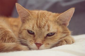 кошка Лиса