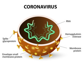 The inside of a Coronavirus
