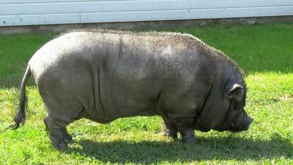 A mini-pig statue on the park  GH4 4K UHD
