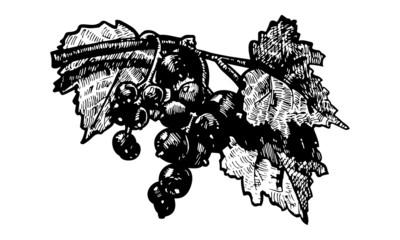 black-currant