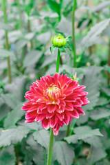 Red dahlia in bloom in a garden