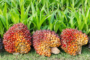 Pile of palm oil