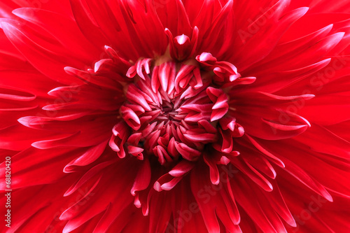 Fotobehang Dahlia Close-up red dahlia in bloom