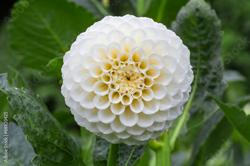 Foto op Aluminium Dahlia White dahlia in bloom in a garden