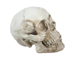 Skull with Cranial Lines