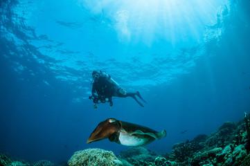 Broadclub cuttlefish Sepia latimanus in Gorontalo, Indonesia.