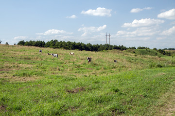 Pasture grazed by cattle herd