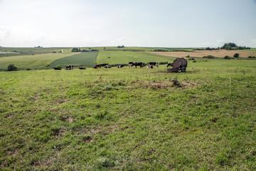 Pasture grazed