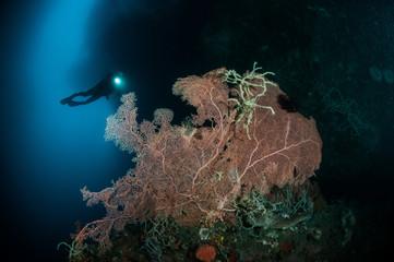 Sea fan Murella and sponge Aplysina cauliformis in Gorontalo.
