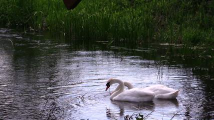 Pair of swan birds looking for food in river water