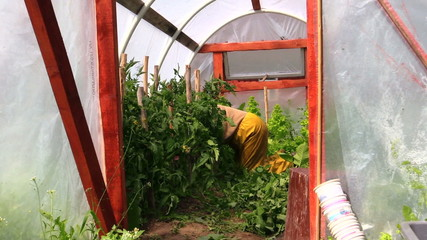 Person on knees care tomato plants in greenhouse hothouse
