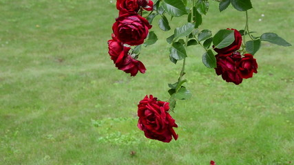 Rose flower branch with big red blooms hang in summer garden