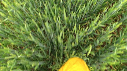 Man foot with rubber boots and waterproof pants walk wheat plant