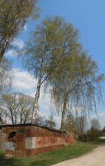 Springtide - blue sky and flourishing birch-trees
