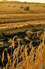 Golden wheat field against sun rays