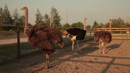 ostriches on sunset