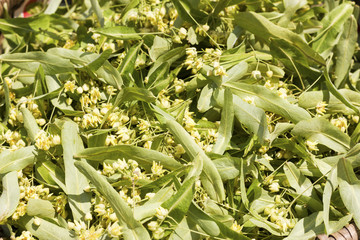 Closeup of linden leaf and flowers