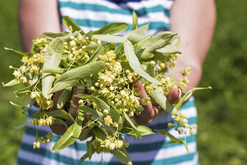 Woman hands holding  linden flowers