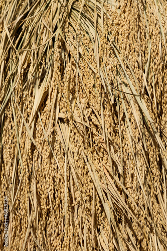 canvas print picture Rice drying